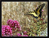 Macaone (Papilio Machaon) Swallowtail # 1