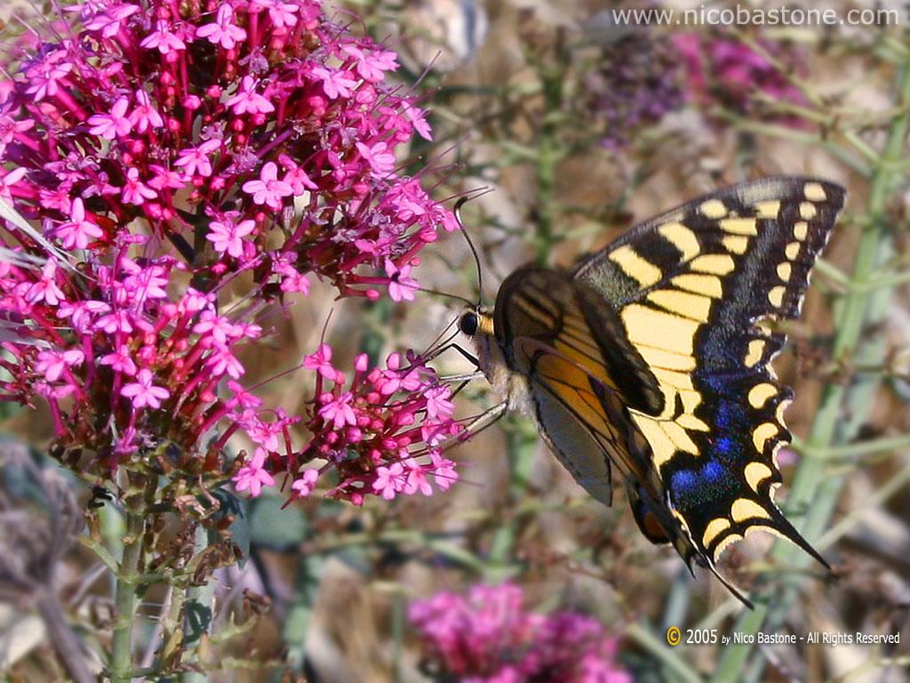 Macaone (Papilio Machaon) Swallowtail - Wallpapers Sfondi per Desktop - Copyright by Nico Bastone - All Rights Reserved