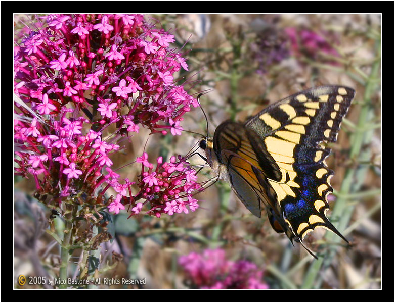 Macaone (Papilio Machaon) Swallowtail # 2