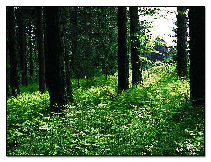 Calabria, Sila: Sottobosco in controluce - Undergrowth into the light