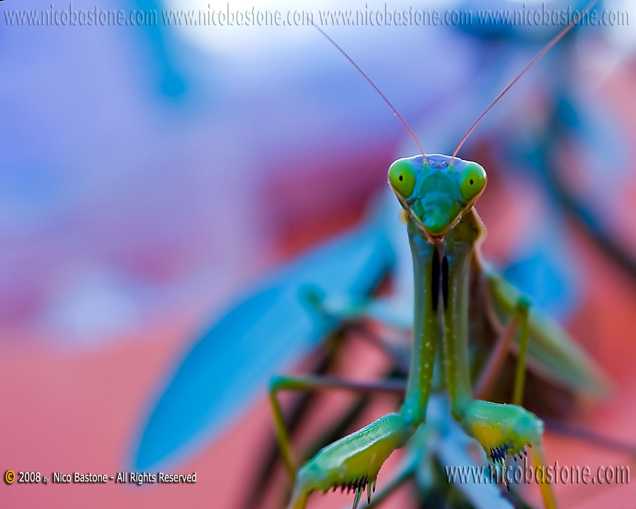 Mantide Religiosa - A praying mantes - Wallpapers Sfondi per Desktop - Copyright by Nico Bastone - All Rights Reserved