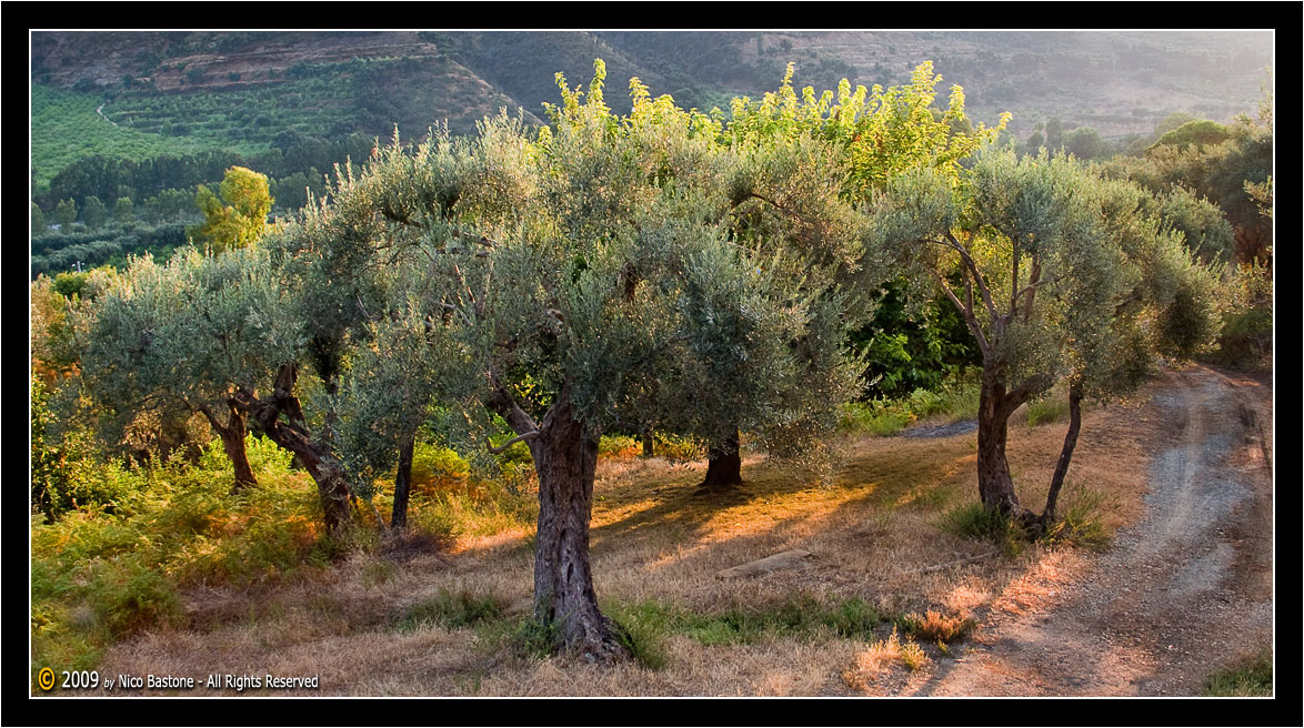 "Mirto, ME- Nebrodi ""Ulivi in controluce - Olives against the light"""