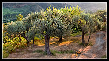 "Mirto ME- Nebrodi ""Ulivi in controluce - Olives against the light"""