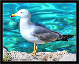 Gabbiano, Seagull # 2 Foto gabbiani, Seagulls photos, fotos, images, pictures, pics